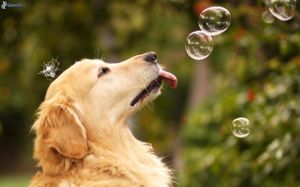 Golden_retriever,_put_out_the_tongue,_bubbles